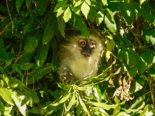 Vervet monkeys 2