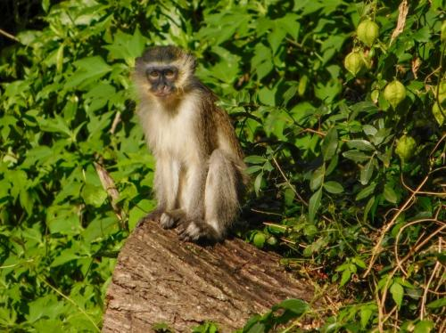 Vervet monkey among the shrubs and trees on the sidewalk. Southport, KwaZulu-Natal.